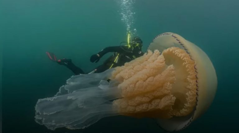giant jelly fish