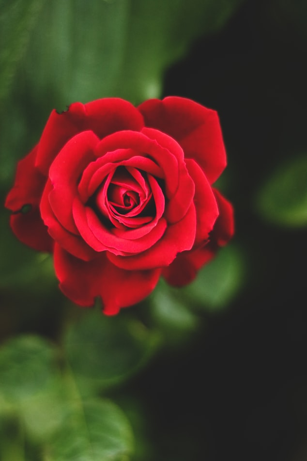 red rose unsplash